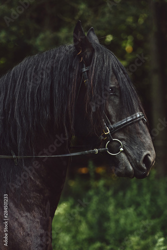 Portrait Of Beautiful Black Horse. Side view