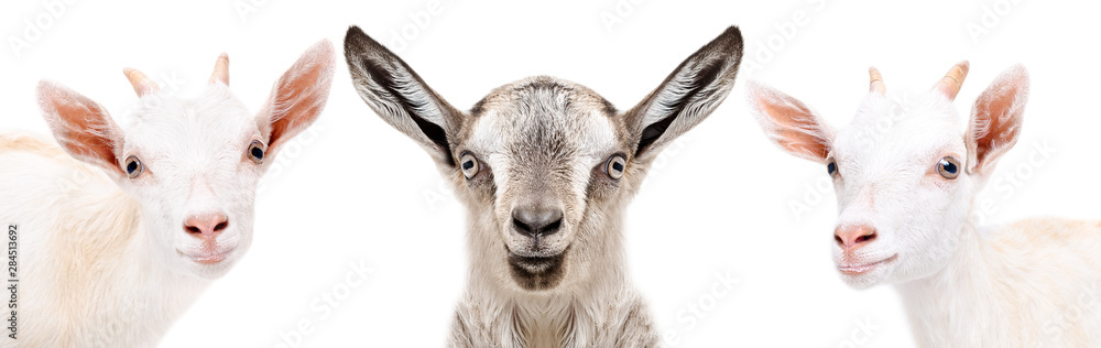 Portrait of a three cute little goat, closeup, isolated on white background