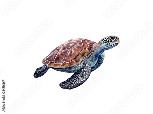 Fotografie, Obraz Watercolor hand drawn sea turtle realistic illustration isolated on white