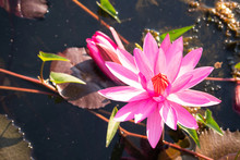 Red Lotus Flower Blooming In Canal With Sunshine