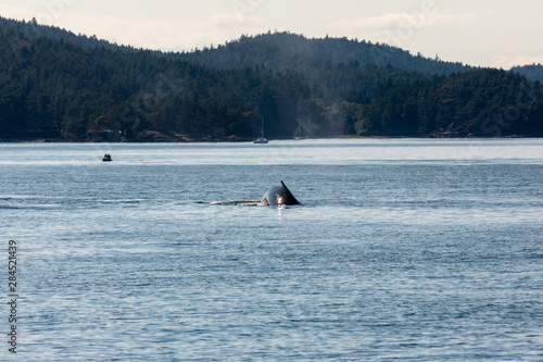 Humpback whales in the ocean at vancouver in canada