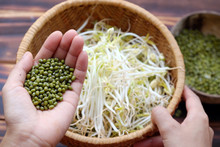 Woman Hand With Homemade Bean Sprouts, Germinate Of Green Beans