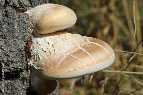 Birch polypore bracket fungus on birch tree Tapéta, Fotótapéta