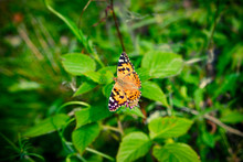 Vanessa Cardui Butterfly On A Pink Flower