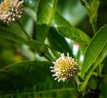 Buttonbush Flowers Along The N...