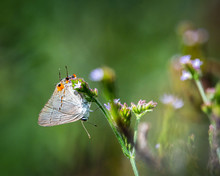 Gray Hairstreak Butterfly Searching For The Right Flower!