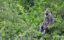 A Mother Holdings Its Baby Monkey Resting On Some Think Bushes In Yala National Park In Sri Lanka