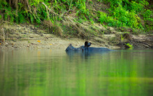 Hippo  Swimming On A River Ban...