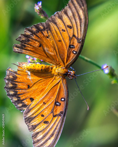 Gulf Fritillary Butterfly from the top!
