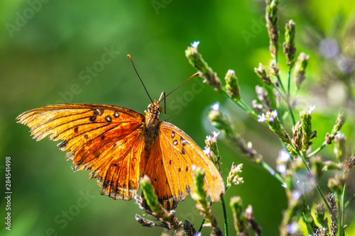 Gulf Fritillary Butterfly on wildflowers in Pearland!