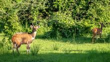 Bushbuck (Bush Buck) Standing In Grass