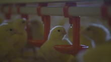 Broiler Chicks Drink A Water In Poultry Farm