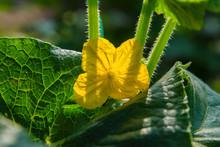 Plant Cucumis Sativus. Blossom...