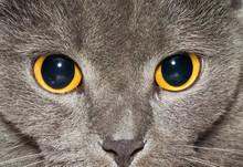 Yellow Eyes Of A Grey British ...