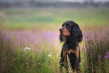 Profile Portrait Of Black And Tan Setter Gordon Dog Sitting In The Field In Summer