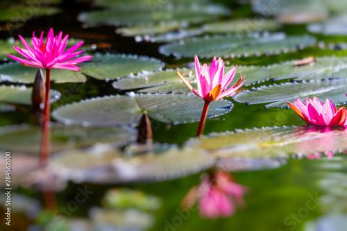 Deurstickers Waterlelies Pink lotus blossoms or water lily flowers blooming on natural pond.