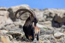 Very Rare Walia Ibex, Capra Wa...