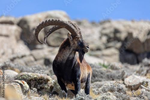 Fotografie, Tablou Very rare Walia ibex, Capra walia, one of the rarest ibex in world