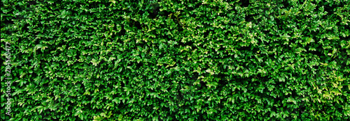 Obraz Panorama Green leaves wall texture for backdrop and background - fototapety do salonu