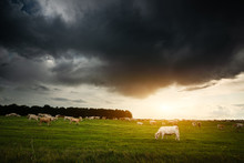 Cows On The Pasture, Storm Clo...
