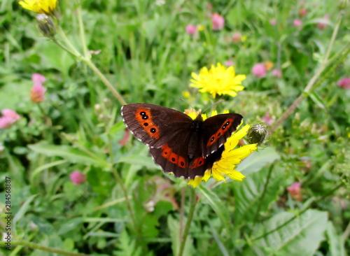 Valokuva  plan un peu rapproché d'un papillon moiré automnal sur une fleur jaune, prairie