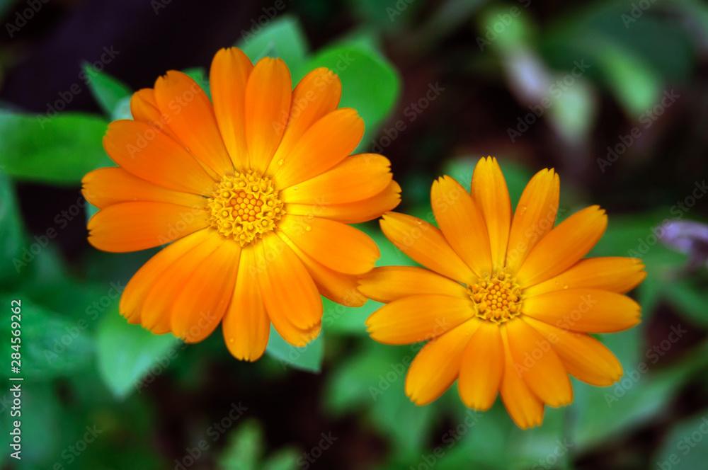 Fototapety, obrazy: Two orange calendula flowers in the garden.