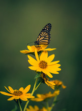 Beautiful Butterfly Resting On Yellow Flowers