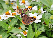 Two Common Buckeye Butterflies Feeding On Zinnia Flowers