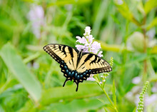 Dorsal View Of A Tiger Swallowtail Butterfly Feeding On A False Dragonhead Wildflower In Maryland