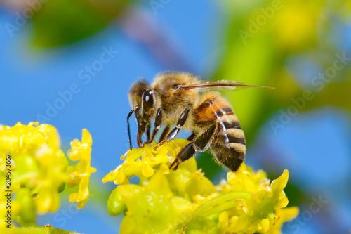 Europäische Honigbiene (Apis mellifera) an einem Christusdorn - European honey b Wallpaper Mural