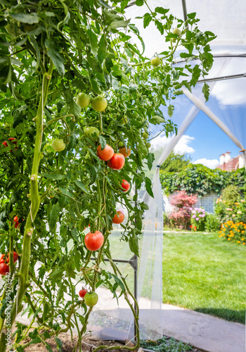 Poster de jardin Montagne View from inside small private greenhouse with tomatoes in garden
