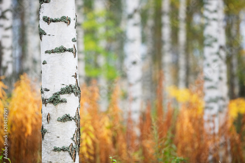 Papiers peints Bosquet de bouleaux Birch tree (Betula pendula) trunk against autumn forest background