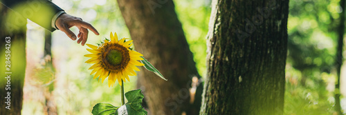 Fotografie, Obraz  Wide view image of businessman hand about to touch a beautiful blooming sunflower growing in a forest lit by the sun