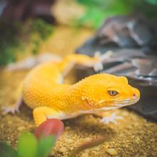 Orange Lizard In Desert