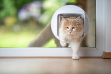 Young Cream Tabby Ginger Maine Coon Cat Coming Into Living Room Passing Through Cat Flap Looking To The Side