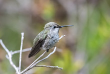Cute Anna's Hummingbird Perched On Branch While Looking To The Right Into The Forrest.