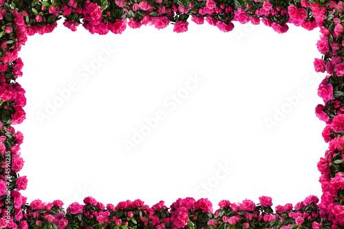 Frame made of pink potted azaleas (Azalea indica) isolated on white background. Side view.
