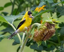 American Goldfinch (Spinus Tristis) Male Feeding On Sunflowers, Iowa, USA.