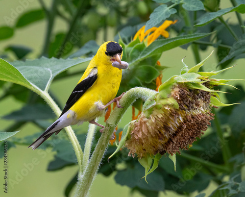 Obraz na plátne American goldfinch (Spinus tristis) male feeding on sunflowers, Iowa, USA
