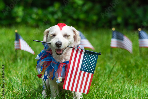 Obraz Dog holding american flag in mouth with eyes closed - fototapety do salonu