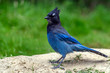 Steller's jay (Cyanocitta stelleri) perching on the ground in the Rogers Pass area of the Glacier Natural Park, British Columbia, Canada