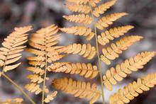 Orange Autumn Fern Leaves Clos...