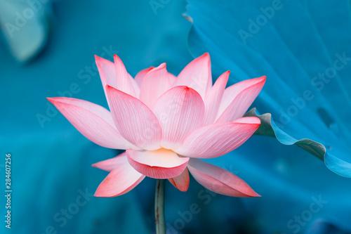 Foto auf Gartenposter Lotosblume Lotus flower and Lotus flower plants