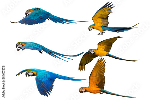 Photo Set of blue and gold macaw flying isolated on white background