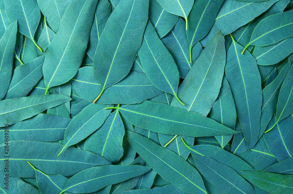 Fototapety, obrazy:  Eucalyptus green leaves pattern background.tropical leaves