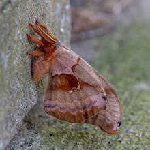 Polyphemus Moth 3