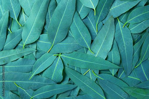 Obraz  Eucalyptus green leaves pattern background.tropical leaves - fototapety do salonu