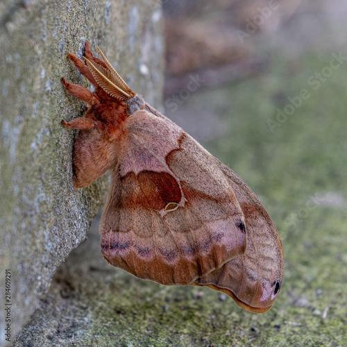 Photo Polyphemus Moth 3