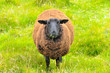 Leinwandbild Motiv Pregnant brown sheep standing in the sunny field and hills behind watching photographer. Concepts: Ireland, travel, countryside