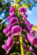 A Close Up Of Pink Flowers On A Tall Stem Of Pink Foxglove Blooms, Speckles Inside The Bells Of Blossoms.